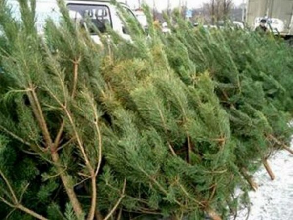 Бесплатную елку получат жители Кургана