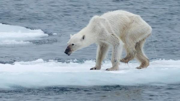Соцсети шокировало видео с умирающим от голода медведем