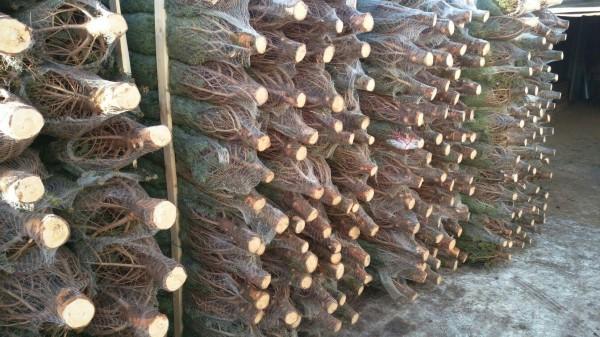 В Москве организуют специальные пункты утилизации новогодних елок