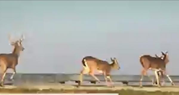 В США на видео попал смертельный прыжок стада оленей с автострады