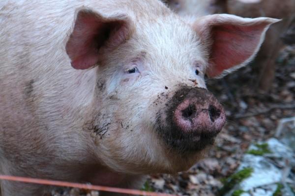 Человек и свинья устроили «эпическую борьбу» под Киевом
