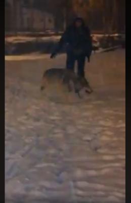Жители Челябинска обсуждают видео с выгулом настоящего волка в центральном парке