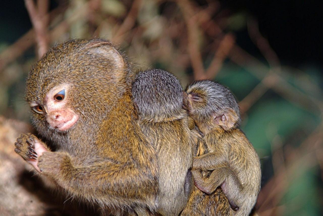 ВРостовском зоопарке родился детеныш самой маленькой вмире обезьяны