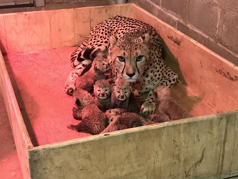 Самка гепарда вСША родила рекордное число детенышей