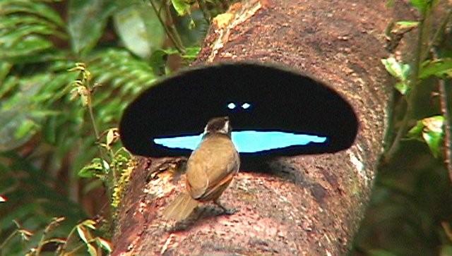Ученые заявили, что в Австралии водятся птицы с нанотехнологиями