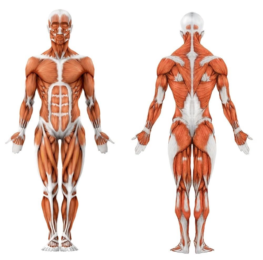 Ученые научились растить изклеток кожи мышцы