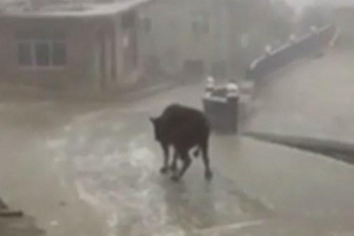 Корова нальду развеселила мир