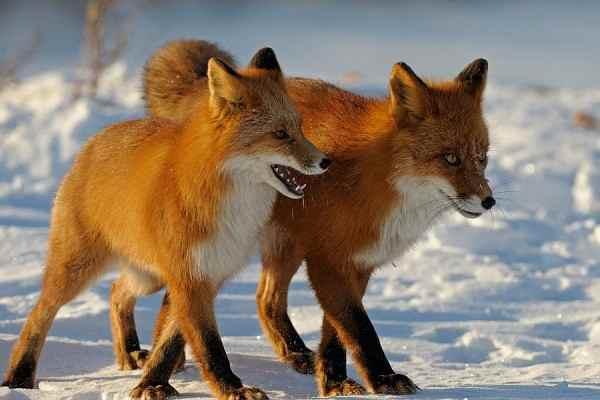 На Сахалине вороватые лисы попали на видео