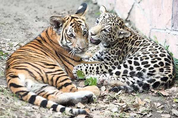 Леопарды и тигры Приморья уживаются в нацпарке «Земля леопарда»