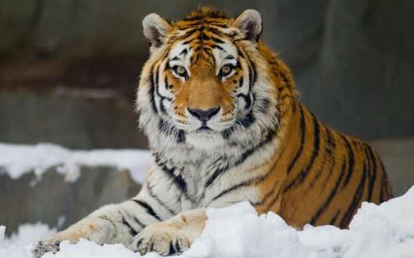Амурский тигр стал звездой сериала Netflix
