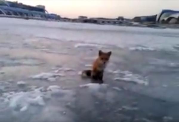 Во Владивостоке дикая лиса выпросила у рыбака весь улов