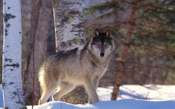 По улицам Санкт-Петербурга гуляет опасный и голодный волк
