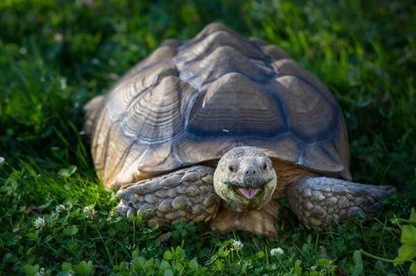 Черепаха-путешественница после побега проползла 300 м за полгода
