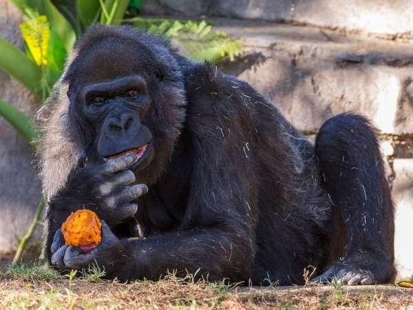 На территории зоопарка в Сан-Диего умерла самая старая горилла