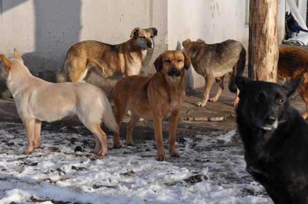 В Колпашево две крупных бродячих собаки на глазах у людей растерзали таксу