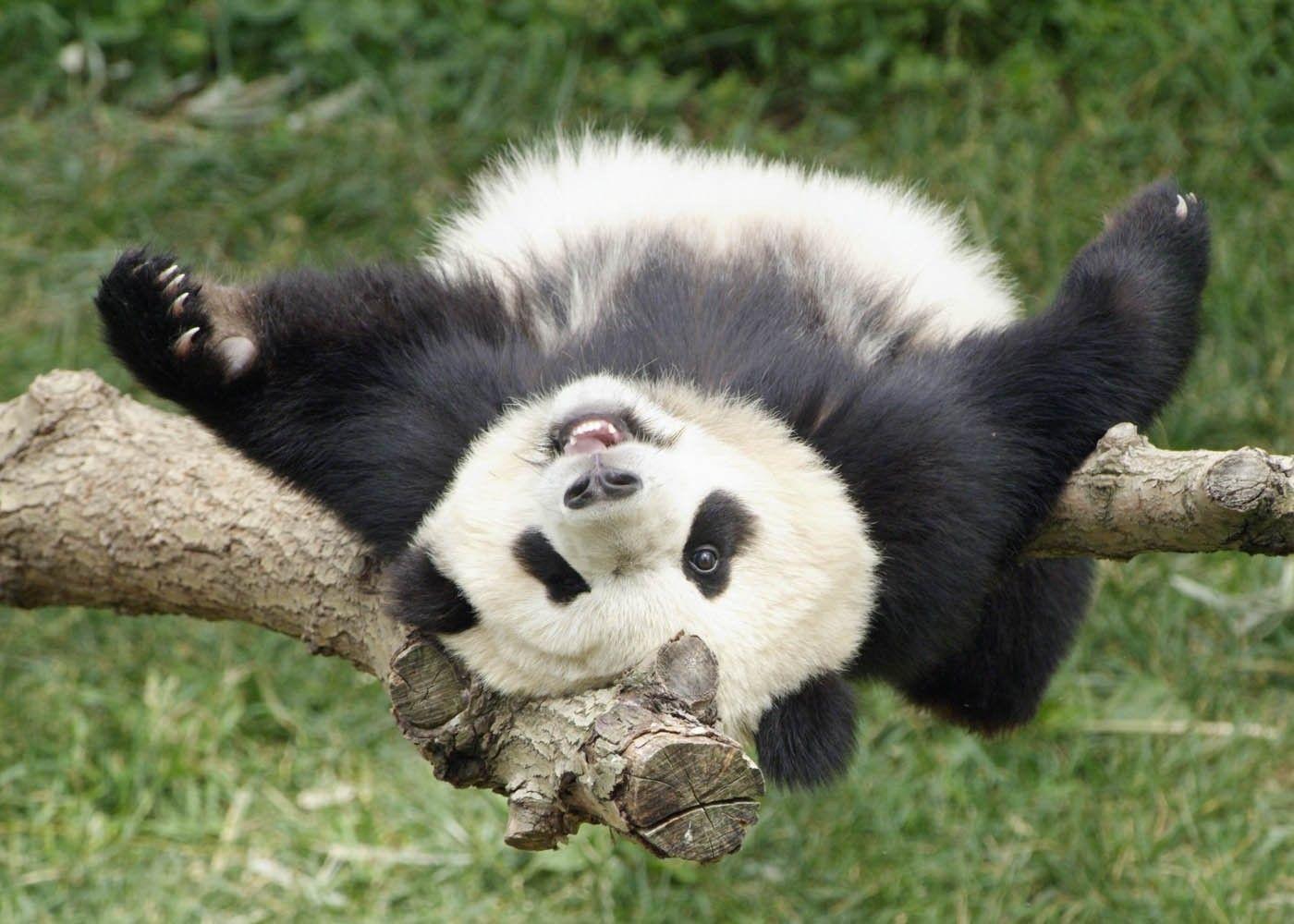 Работа мечты: сотрудники Московского зоопарка поедут в КНР учиться обнимать панд