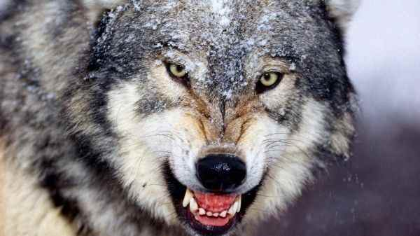 Волки нападают на деревни в Свердловской области и похищают собак