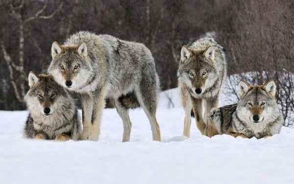 Жители Свердловской области напуганы частыми визитами стаи волков