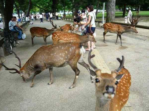В Японии в парке города Нара олени кусают туристов