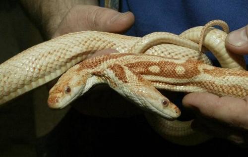 В США фермер нашел необыкновенную двухголовую змею
