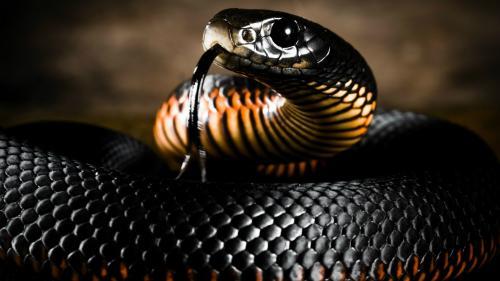 Смертельно ядовитые змеи уничтожат супербактерии