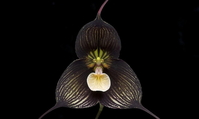 ВБотаническом саду МГУ в столице России расцвела уникальная орхидея-вампир