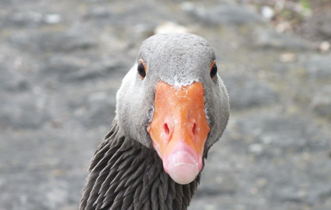 Внебе над Айдахо молния убила 50 гусей