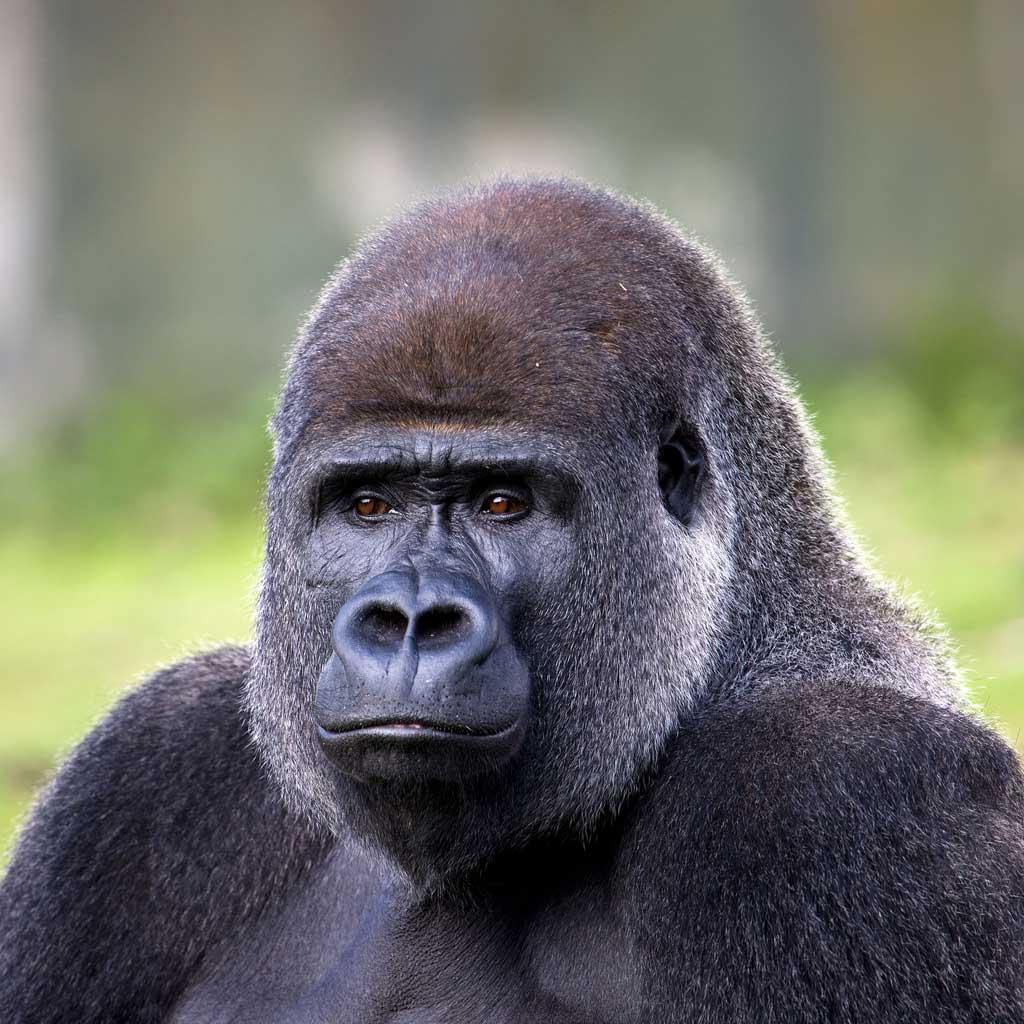 Милое видео редкой гориллы иееноворожденного детеныша появилось вweb-сети