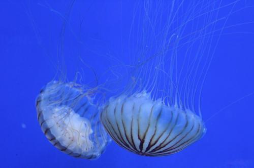 Ученые: Организмы медуз наполнены пластиком