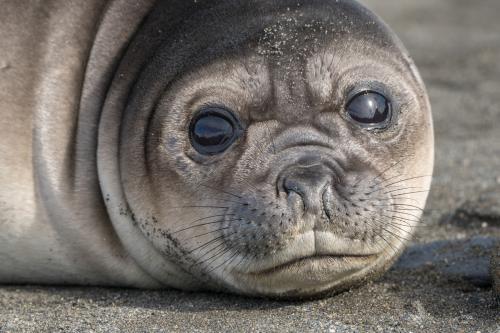 На Камчатке нашли Жруна-тюленя