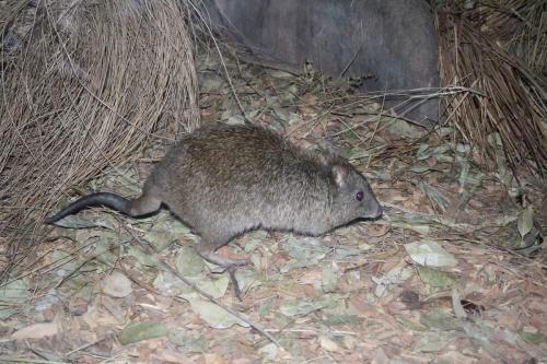 В Йошкар-Оле появились крысы огромных размеров
