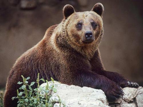 В Италии редкий медведь умер из-за снотворного