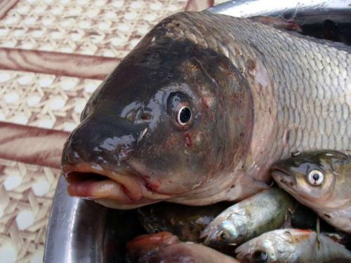 Ученые обнаружили снижающие риск развития болезни Паркинсона виды рыб