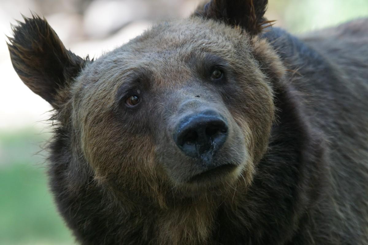 ВСША медведь забрался вмашину изастрял там
