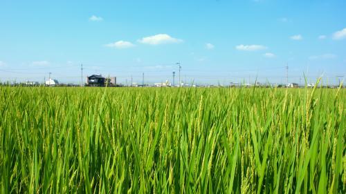 Учёные: Рису мешает бороться с вредителями серотонин