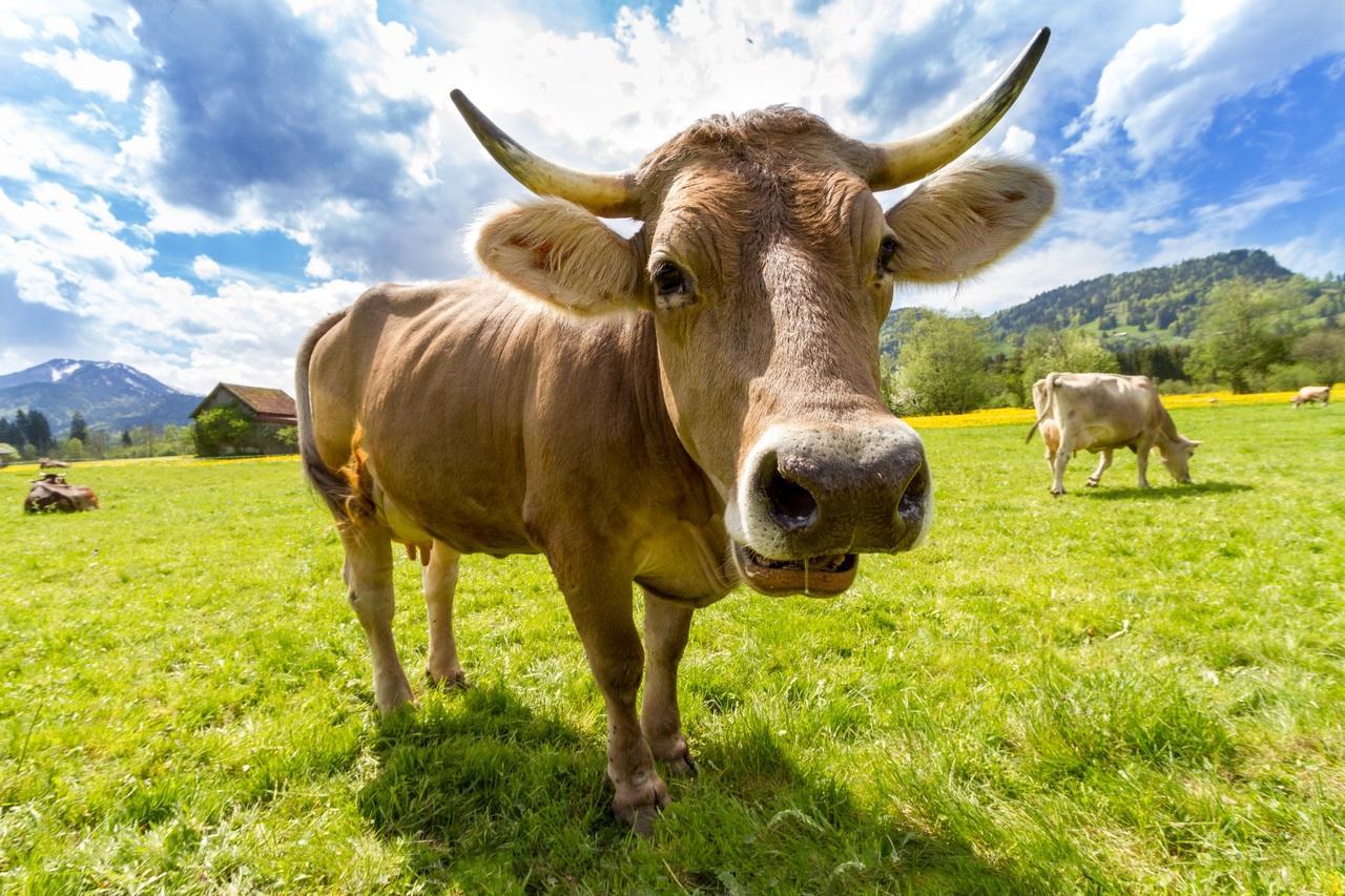 ВБолгарии планируют усыпить корову из-за незаконного пересечения границыЕС