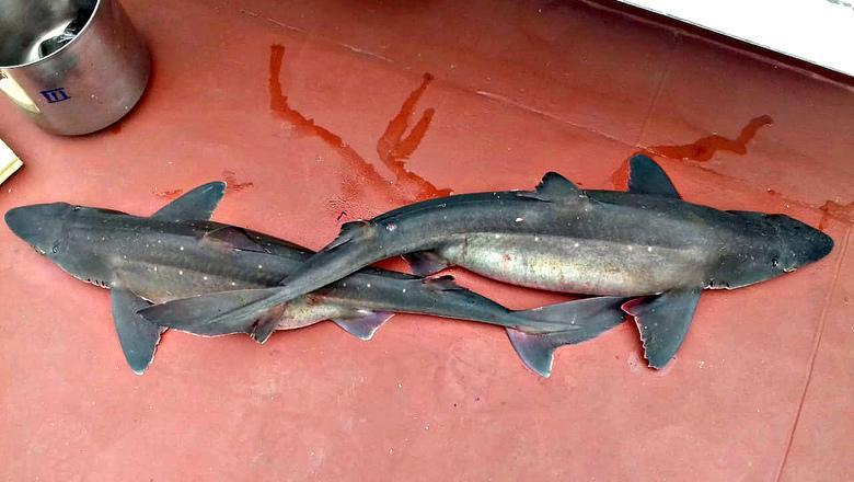 Приморские рыбаки поймали в сети опасных колючих акул