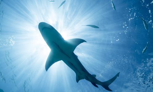 Соцсети шокировало развлечение двух акул с беззащитными туристами