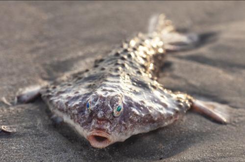 «Существо из Черной Лагуны»: Рыбу-монстра с горящими глазами выкинуло на берег Техаса