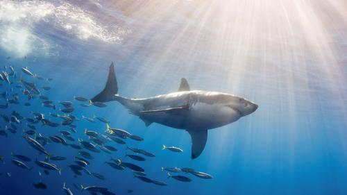 Антициклон – благодатная среда для больших белых акул, считают океанографы
