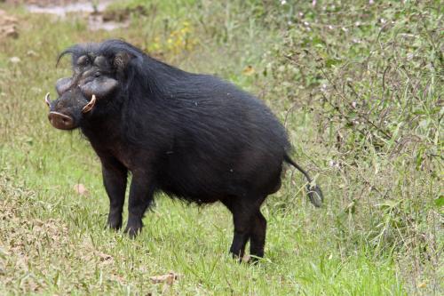 Гигантские африканские свиньи на грани вымирания, предупреждают зоологи