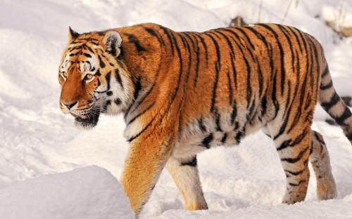 В Московском зоопарке появились амурские тигры
