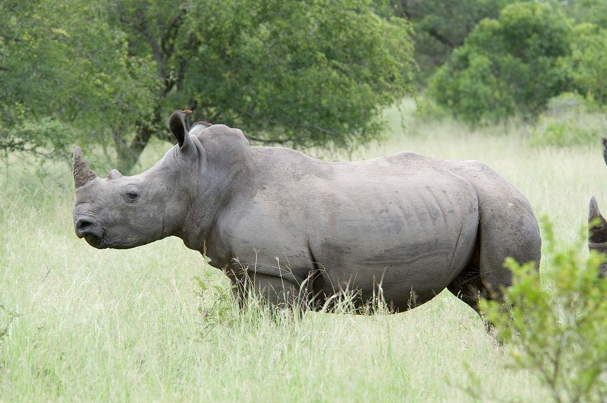 Ученые отыскали  способ, как «воскресить» вымершего белого носорога