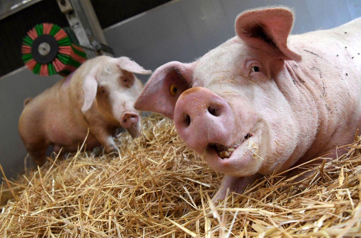 Порно свиней