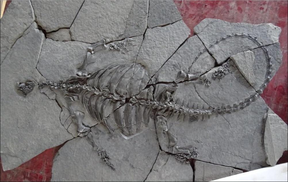 ВКитайской народной республике откопали скелет древнейшей черепахи без панцыря, однако склювом