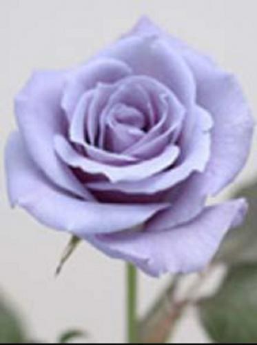 В Китае с помощью генных технологий создали синие розы