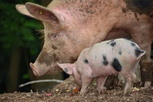 Диетологи: Свинина и сало очень полезны для здоровья