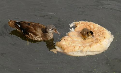Кормить уток хлебом опасно для окружающей среды и их здоровья - специалисты